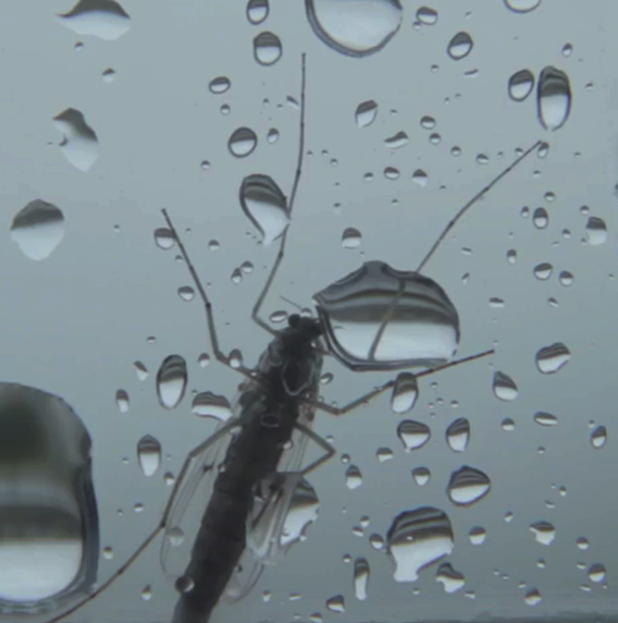 Mosquito and water droplets
