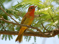 The Summer Tanager winters in Central and South America.