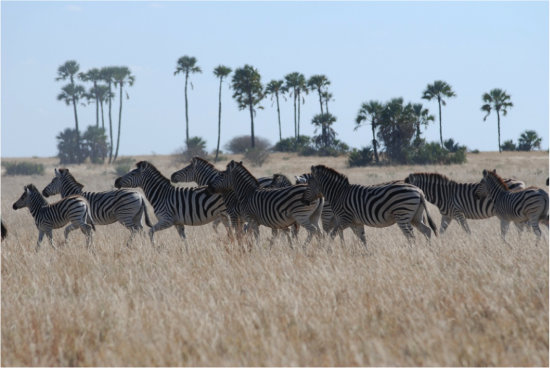 Zebras in the Makgadikgadi grasslands.