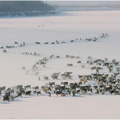Caribou herd in the Yukon