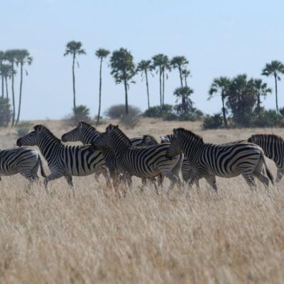 NASA satellites used to predict zebra migrations